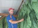 Romelio, attentif au séchage des feuilles de tabac.