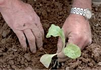 Un plant de tabac cultivé en Béarn.