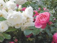 Iceberg en balnc et Alphonse Daudet en rose. C'est Bertrand qui les choie, les coupe, les aime...Au total, il cultive 400 rosiers!