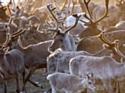 Ikea lâche ses rennes en Normandie