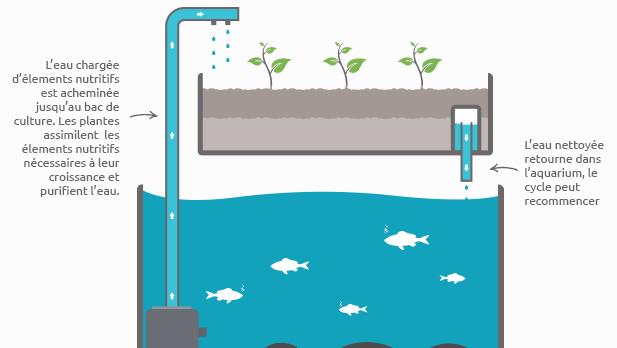 Avec l'aquaponie, la culture devient autonome