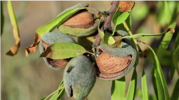 La Compagnie des Amandes veut relocaliser la production agricole de l'amandier en France